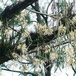 Dendrobium casuarinae