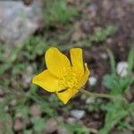 Ranunculus monspeliacus