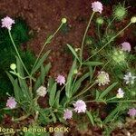 Cephalaria syriaca