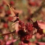 Chenopodium capitatum