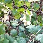 Symphoricarpos albus Vili