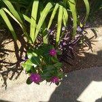Catharanthus roseus Cvet