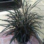 Plerandra elegantissima 葉