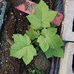 Rubus parviflorus Habitat