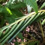 Onoclea orientalis
