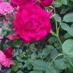 Rosa gallica Kukka