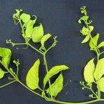Cayaponia buraeavii