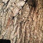 Quercus pubescens Bark