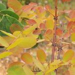 Albertisia cuneata