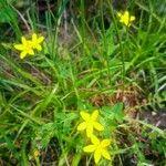 Hypericum humifusum