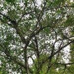Ficus fistulosa