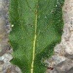 Hieracium bornetii