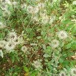Porophyllum