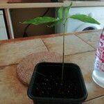 Adansonia grandidieri