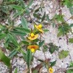 Stylosanthes guianensis