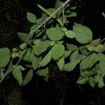 Fridericia costaricensis