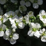 Hormathophylla macrocarpa