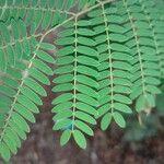 Leucaena leucocephala Levél