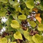 Dioscorea polygonoides