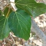 Ficus sycomorus Hostoa