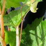 Begonia hirsuta