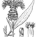 Cheirolophus sempervirens