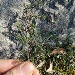 Fumana procumbens 葉