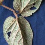 Amphilophium pannosum