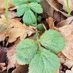 Geum urbanum Leaf
