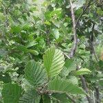 Alnus × pubescens