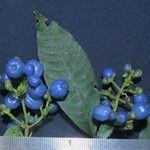 Psychotria recordiana