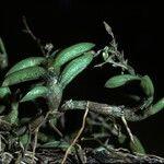 Epidendrum microphyllum