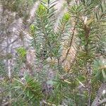 Erica vagans Leaf