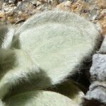 Chersodoma antennaria