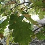 Quercus pubescens Leaf