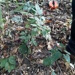 Serjania triquetra