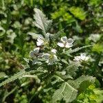 Diplotaxis erucoides Flower