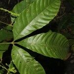 Serjania membranacea