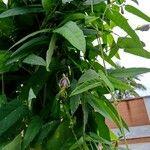 Psophocarpus tetragonolobus