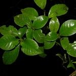 Psychotria parvifolia