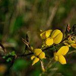 Adenocarpus