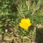 Ranunculus tuberosus
