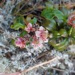 Chimaphila umbellata
