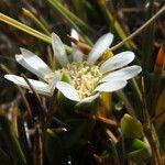 Werneria spathulata