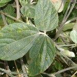 Rhynchosia reticulata