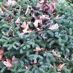 Picea × lutzii