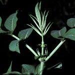 Sambucus javanica