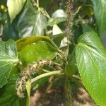 Acalypha macrostachya