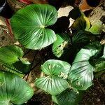 Piper umbellatum Leaf