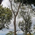 Eucalyptus camaldulensis Kora